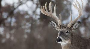 Whitetail buck in winter
