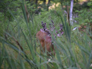 Whitetails walking through tall grass