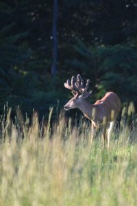 A young whitetail buck in a field