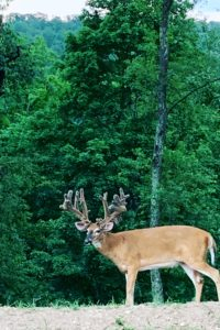 A monster whitetail buck